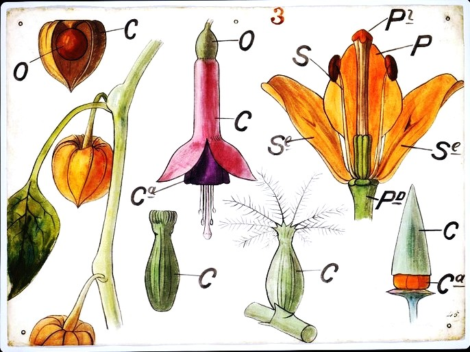 Botanical-Educational-Plate-Flower-Anatomy-diagram